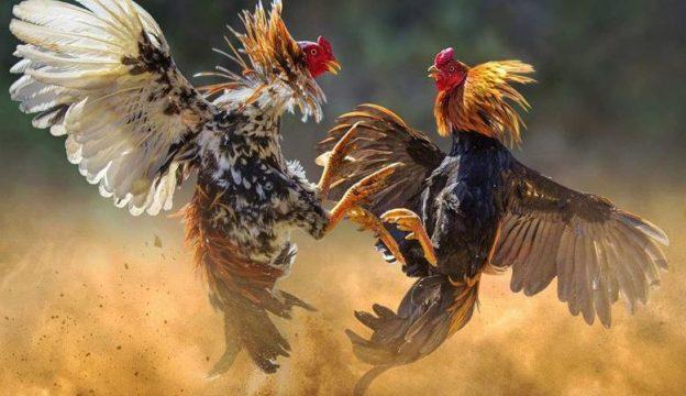 Sabung Ayam Live Streaming