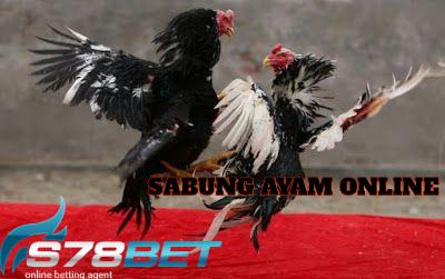 Gejala Turun Urat Pada Ayam Bangkok