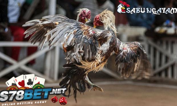 6 Panduan Mengatasi Ayam Aduan Yang Lemas