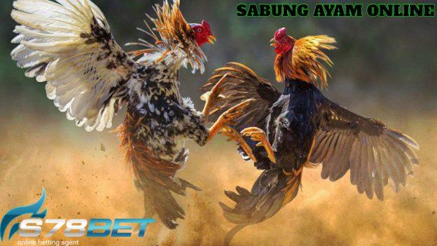 Khasiat Pemijatan Untuk Ayam Aduan Bangkok